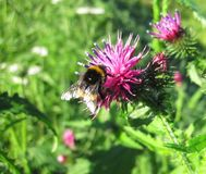 Beautiful bumblebee on wild plant Stock Image