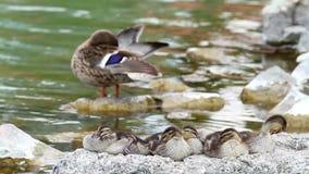 Nice wild duck chicken stock video