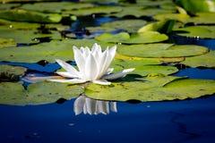 Nice wild white water lily flower Stock Photo
