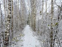 Snowy path in winter swamp, Lithuania. Nice winter path in Aukstumalos swamp in west path of Lithuania Royalty Free Stock Photo
