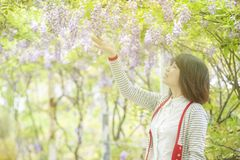 Nice wisteria blossom on Garden background with nice color royalty free stock photography
