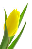 Nice, yellow closeup tulip. Nice, yellow tulip with green leaf isolated white background Stock Photography