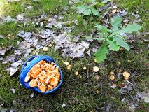 Beautiful eatable mushrooms  in forest, Lithuania. Nice yellow eatable  mushrooms in blue wicker in forest, can use as background stock photography