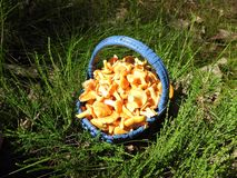 Beautiful eatable mushrooms  in forest, Lithuania. Nice yellow eatable  mushrooms in blue wicker in forest, can use as background royalty free stock photos