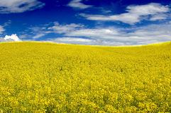 Nice yellow field. A yellow field and the blue sky create a nice contrest Royalty Free Stock Photos