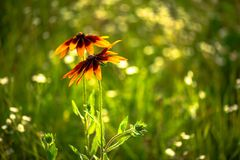 Nice yellow field summer flowers nature green. Clean ecology Stock Photo