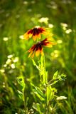 Nice yellow field summer flowers nature green. Clean ecology Royalty Free Stock Photo