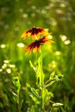 Nice yellow field summer flowers nature green. Clean ecology Stock Images