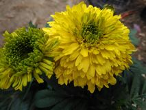 nice yellow flower Royalty Free Stock Images