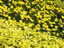 Beautiful yellow flowers and leafs in park, Lithuania royalty free stock photography