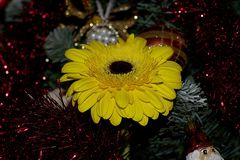 Nice yellow gerber o the christmas tree Royalty Free Stock Photo
