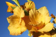 Nice yellow gladiolus. In tne garden royalty free stock images