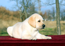 The nice yellow happy labrador puppy in garden portrait Royalty Free Stock Image