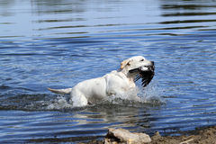 A nice yellow hunting labrador retrieving Stock Photography