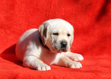 A nice yellow labrador laying on red background Stock Photos