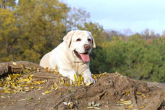 Nice yellow labrador in the park in autumn Stock Photos
