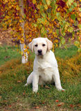 The nice yellow labrador puppy in autumn Royalty Free Stock Photo