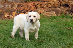 Nice yellow labrador puppy in autumn Royalty Free Stock Image