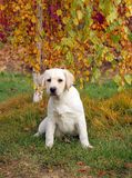 A nice yellow labrador puppy in autumn Stock Photography