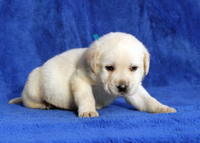 Nice yellow labrador puppy laying on the blue background Royalty Free Stock Image