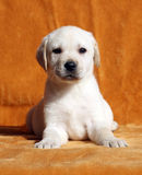 A nice yellow labrador puppy on orange background Stock Images
