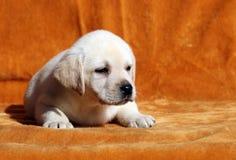 Nice yellow labrador puppy on orange background Royalty Free Stock Photography