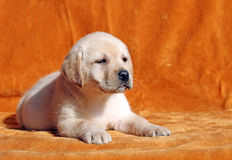 Nice yellow labrador puppy on orange background Royalty Free Stock Photos