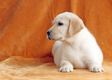 The nice yellow labrador puppy on orange background Stock Images
