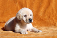 A nice yellow labrador puppy on orange background Royalty Free Stock Photography