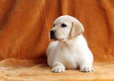 Nice yellow labrador puppy on orange background Royalty Free Stock Images