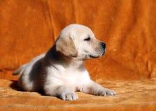 A nice yellow labrador puppy on orange background Stock Photos