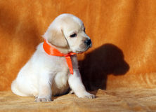 A nice yellow labrador puppy on orange background Stock Photography