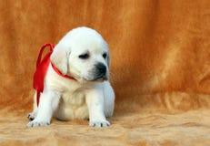 Nice yellow labrador puppy on orange background Stock Photos