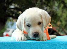 Nice yellow labrador puppy portrait on blue Stock Photos