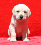 Nice yellow labrador puppy portrait on red Royalty Free Stock Photos