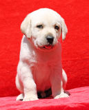 Nice yellow labrador puppy portrait on red Royalty Free Stock Photography