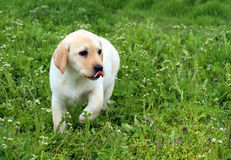 The nice yellow labrador puppy running in green grass Stock Images