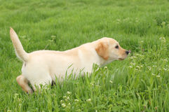 Nice yellow labrador puppy running in green grass Stock Images