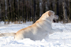 The nice yellow labrador in winter in snow Royalty Free Stock Images