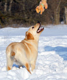 Nice yellow labrador in winter in snow with a toy Stock Image