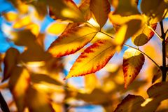 Nice yellow orange red leaves on blue sky nature stock image
