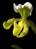 Nice yellow orchid Stock Image