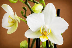 Nice yellow orchid Royalty Free Stock Photo