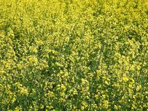 Yellow blooming field, Lithuania. Nice yellow field in summer, can use as background stock photos