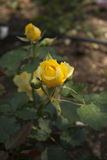 Nice yellow rose Royalty Free Stock Images