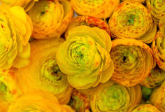 Nice - Yellow roses background. Background of bunch of yellow roses closeup Royalty Free Stock Image