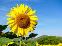 Nice yellow Sun flowers on nice blue sky background. Nwith tree and mountain Stock Photo