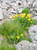 Beautiful wild flowers between stones. Nice yellow wild flowers in mountains between stones Stock Image