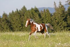 Nice young appaloosa horse running Royalty Free Stock Photos