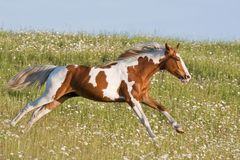 Nice young appaloosa horse running Royalty Free Stock Image